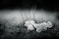 End of Autumn (4orty7even) Tags: britain british claremontgardens december england english esher europe fall shpmg surrey surreyandhampshirephotographymeetupgroup uk unitedkingdom autumn black blackandwhite blur frost grass leaf mono monochrome white winter