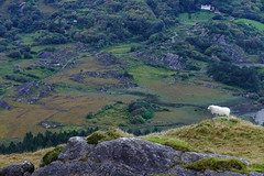 Ireland - Domain Master (WMJ614) Tags: ireland mountain lake healypass healeypass sheep clouds sky water meadow plant flower green mountainrange landscape panasonic lumix fz1000