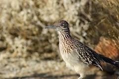 Greater Roadrunner (Geococcyx californianus) (Camden S. Bruner) Tags: greaterroadrunner geococcyxcalifornianus joshuatree nationalpark sanbernardinocounty ca california oasisvisitorcenter wildlife bird road