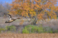 PintailAutumnBkgd1 (2) (Rich Mayer Photography) Tags: hen pintail pin tail bird birds avian fly flying flies flight nature wild life wildlife autumn scenic scenery water fowl waterfowl nikon
