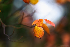 A Moment of Beauty... (mc_icedog) Tags: autumn abstract bokeh morning outdoors colors shallow depth field forest leaves tree copyright nature pattern