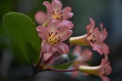inner light (sabinakurt62) Tags: plant flora flower green pink garden beautiful spring bokeh art photography nikon nature