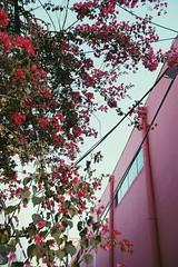 (zumponer) Tags: flowers palmbeach fullframe canon5dmarkii canon dslr building color magenta street urban florida