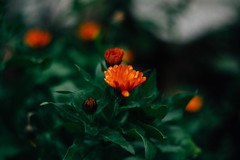 Calafat Blooms (Kwame Busia) Tags: blooms helios 442 58mm vsco kodak gold swirly bokeh
