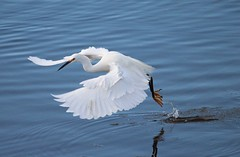 The dance of the egret! (avilacats) Tags: droh dailyrayofhope