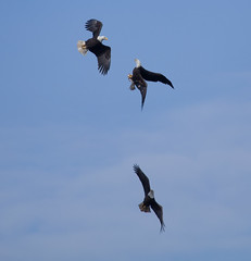 3 eagle aireal ballet (jimbobphoto) Tags: eagle baldeagle flight fly sky fish combat bird raptor
