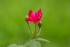 Rose n Buddies (malc1702) Tags: rose redrose roses rosebud nature beauty bokeh nikond7100 tamron150600 flowers plants leaves dof macro closeup flowerbeauty flowermacro