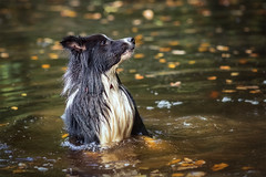 ...It rose up from the depths!!! (redshift1960) Tags: gibson bordercollie puppy dog water swim canon 5dmk3 200mm