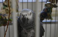 The Grateful Grey (BKHagar *Kim*) Tags: bkhagar bird kato congoafricangrey cag grateful grey wings feathers cage rescue pet