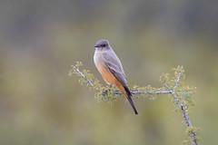 Say Hey (gseloff) Tags: saysphoebe bird wildlife bigbendranchstatepark bbrsp sauceda presidiocounty texas gseloff