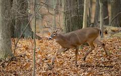 _DSC2066---2016-11-21-at-09-28-31-(1) (JRIDLEY1) Tags: deer buck whitetailedbuck jridley1 jimridley wwwjimridleyphotographycomjridley1jim brightonmichigan