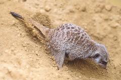 Mongoose (HJW92) Tags: animal mongoose