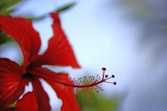 HIBISCUS (drlopezfranco) Tags: republicadominicana puntacana hibiscus flor flower red rojo bokhe desenfoque pistilo petalos