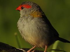 Red-browed Finch Golden Light (Mama Shaz) Tags: wildlife backyard urban finch bird goldenlight feathertexture finedetail