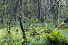 (derkleinebiber) Tags: wood trees summer tree nature field fairytale forest landscape schweiz woods natur feld september beaver late dreamy needles moor landschaft wald bäume brandenburg baum beavers märchen biber wanderweg naturpark naturschutzgebiet sumpf spätsommer buckow nadelbaum märkische