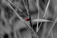 Ladybug (sonerone84) Tags: rain bamboo ladybug raindrop