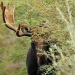 Bull Moose (Shiras) on Seedskadee National Wildlife Refuge thumbnail
