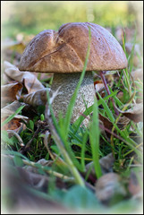 Mushroom (mcgin's dad) Tags: mushroom fungus queenelizabethforestpark canoneosm