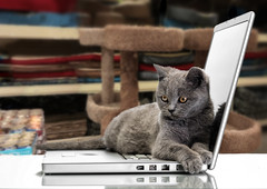 a kitten and a laptop (CoriJae) Tags: portrait pet white playing reflection cute animal closeup cat reflections computer carpet grey paw furry kitten funny technology looking background laptop tabby gray young kitty catfood domestic cuddly isolated catbed scratchingpost greybackground