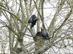 119 (nickcross2906) Tags: bird animal cormorant fighting