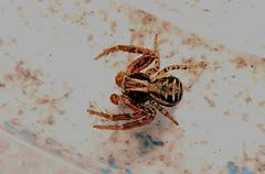Thomise (Carahiah) Tags: macro nature alsace insecte pattes araigne feuille dtail arachnophobie ortie