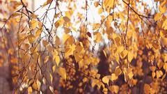 sweet november (Olga R Grekova) Tags: november autumn light sunset orange tree leaves sunshine yellow canon warm candy bright sweet bokeh 85mm 7d manual manualfocus 402 helios canonrussia