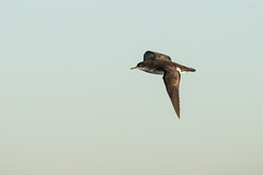 Fluttering Shearwater, Sydney-2361 (Henry.Cook) Tags: sydney shearwater seabird fluttering pelagic puffinus puffinusgavia