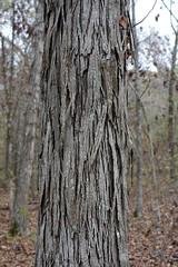 Carya species (Eric Hunt.) Tags: tree peeling bark hickory carya juglandaceae shagbarkhickory
