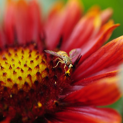 FeedingFrenzy (xk8jag2000) Tags: flower macro bee wowiekazowie