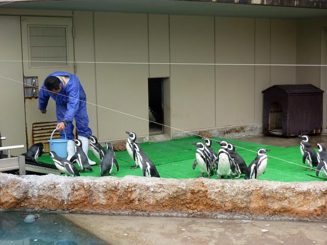 ペンギンに魚を投げると、ペンギンは器用にそれをキャッチして。|いしかわ動物園