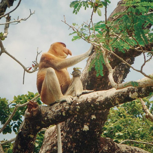 The lone proboscis monkey aka Orang Belanda enjoying the view from the tree top. His limbs look freakishly human!!!  🐒  🐞 #malaysia #sarawak #borneo #travelasia #igs_asia #instagood #instalike #instatravel #picoftheday #bestoftheday #amazing