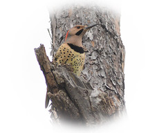Northern Flicker (stephaniepluscht) Tags: bon wildlife alabama national northern flicker refuge 2015 secour