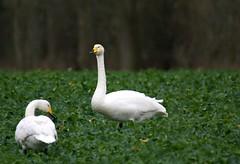 Whooper swans (Jaedde & Sis) Tags: sangsvane whooperswan swan cygnuscygnus olde ærø denmark two dof field friendlychallenges perpetualwinner