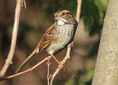 White-Throated Sparrow (tan striped) (hennessy.barb) Tags: sparrow whitethroatedsparrow bird perched