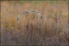 Short-eared Owl (image 4 of 4) (Full Moon Images) Tags: rspb fen drayton lakes wildlife nature reserve cambridgeshire bird prey birdofprey flight flying shorteared owl short eared seo