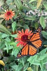 October visitor (davekrovetz) Tags: iphoneography iphone nature gardening gardens zinnia flower insect butterfly