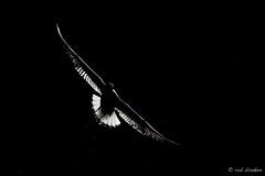 Gull (Rob Blanken) Tags: gull lowkey