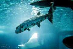Barracuda - Oceanario Lisbona (antoniosimula) Tags: oceanario lisbon lisbona lisboa portogallo portugal area expo fish flora fauna nikon d3200 35mm 70300 tamaron ocean species pacific atlantic indian