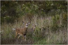white-tailed deer rut (Christian Hunold) Tags: whitetailedbuck whitetaileddeer whitetail buck deer maturebuck deerrut weisswedelhirsch valleyforge christianhunold