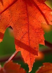 On Fire (murraymike89410) Tags: sequim washington 100mmlmacro macromondays backlit hmm flickrfriday autumnleaves bokeh depthoffield dof