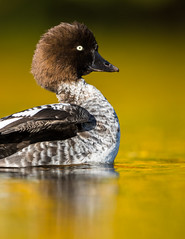 Golden Eye (Bucephala clangula). (dave.mcculley) Tags: goldeneye bird nature wildlife duck lighting low pov martinmere water