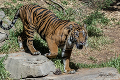 Langka (ToddLahman) Tags: langka sandiegozoosafaripark safaripark canon7dmkii canon canon100400 exhibitb escondido sumatrantiger tigers tiger tigertrail