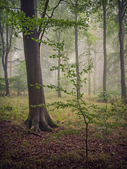 Little & Large (Damian_Ward) Tags: damianward photography damianward beech trees wood forest woodland wendoverwoods astonhill wendover buckinghamshire bucks chilterns chilternhills thechilterns morning mist fog misty foggy
