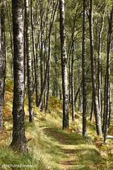 Autumn Trees, Innerwick, Glen Lyon (richardstelmach) Tags: autumn bridgeofbalgie glenlyon highlands innerwick nature outdoors perthshire tayforest thehighlands tree trees woodland