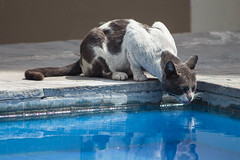 _MG_1394 (franztomandl) Tags: cat cats kitten beautiful pet siames gato gatos pool piscina walking blue eyes ojos azules