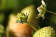 I might be too late for this year (AngharadW) Tags: strawberry green dof garden whitchurch cardiff caerdydd cymru wales
