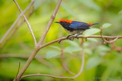 "IMGL5810 (mystillife) Tags: 新加坡 鸟 birding birds bittern gardensbythebay ""satay by bay nature wildlife singapore 2016 scarletbacked flowerpecker"