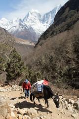 One man and his yak (D A Scott) Tags: himalayas nepal asia mountains trekking everest base camp gokyo lakes trek
