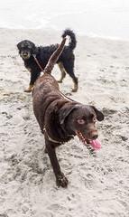 A tale of two tails (mattphoria) Tags: delmar dogbeach delmardogbeach chocolate lab labrador aussiedoodle 29th street california beach