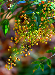 Blush on the Berries (Reid2008) Tags: nandinadomestica nandina